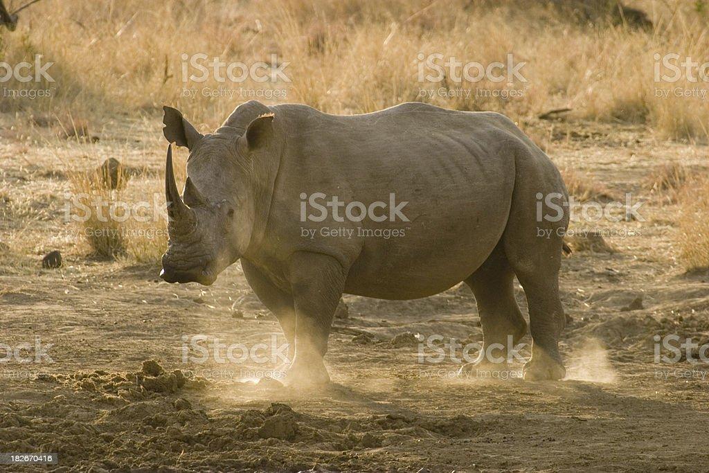 White Rhino at Sunset stock photo