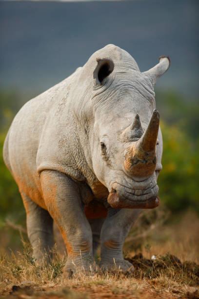 White rhino bull closeup Red soil on a white rhino bull white rhinoceros stock pictures, royalty-free photos & images