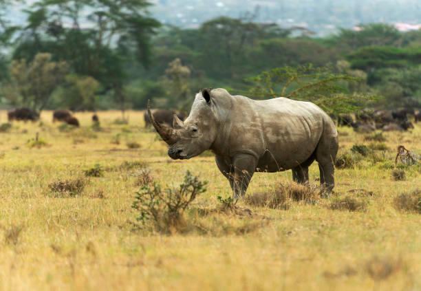 White Rhino,  Ceratotherium simum, Nakuru, Kenya, Africa White Rhino,  Ceratotherium simum, Nakuru, Kenya, Africa white rhinoceros stock pictures, royalty-free photos & images