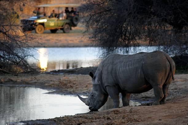 Blanco rhino beber, observación de un safari de - foto de stock
