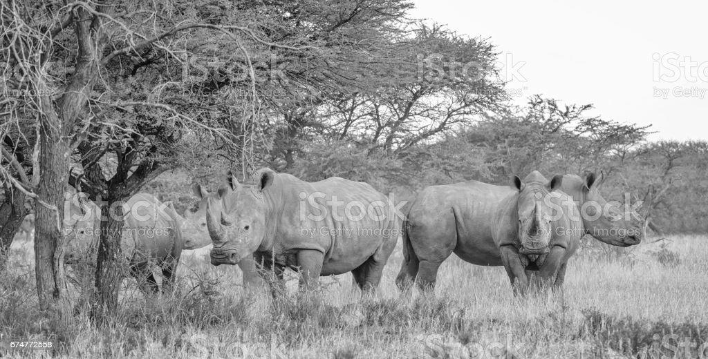 Rhinocéros blanc groupe - Photo