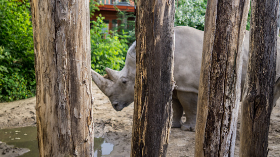 White Rhino In Captivity At Budapest Zoo Stock Photo