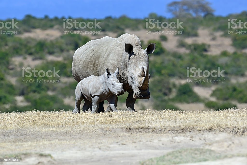 White Rhino in Kenya stock photo