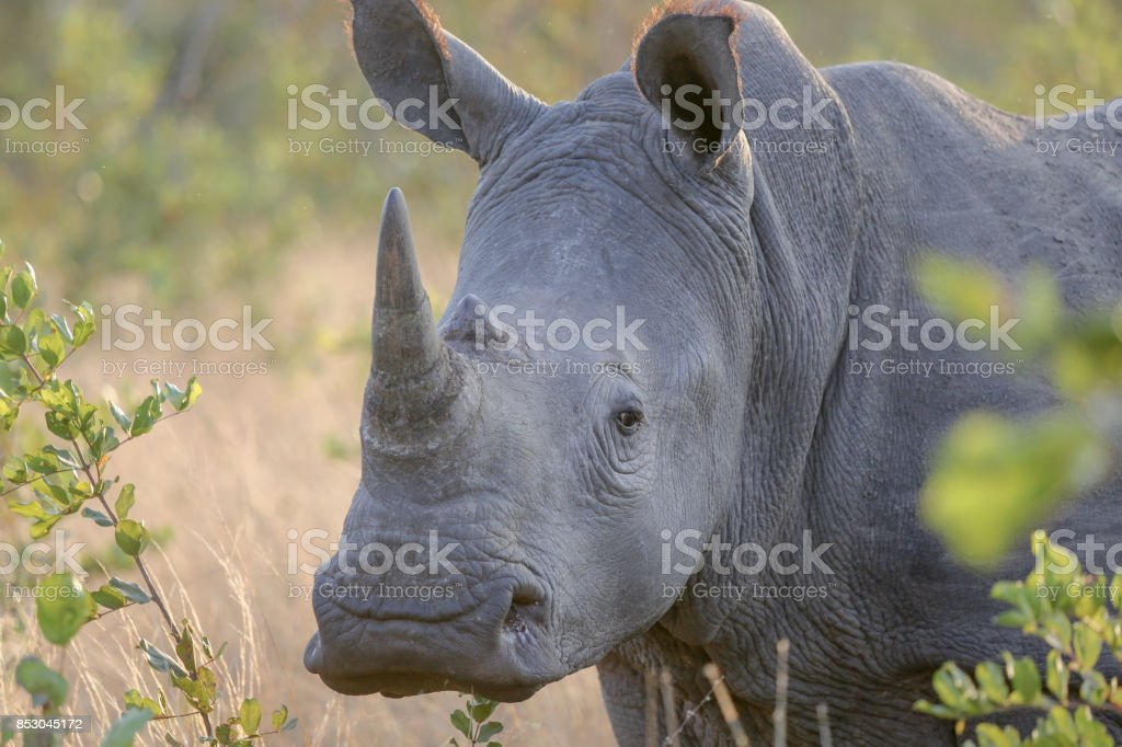 White Rhino in Kruger National park, South Africa stock photo