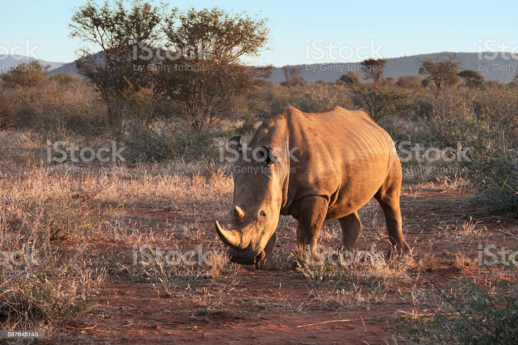 White rhino in Madikwe Game Reserve, South Africa stock photo