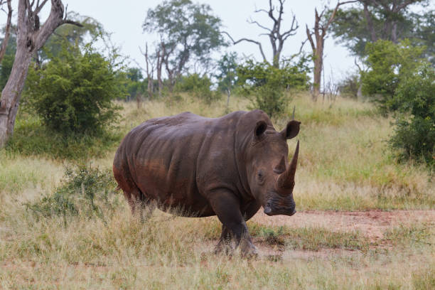 White rhino in Swaziland stock photo