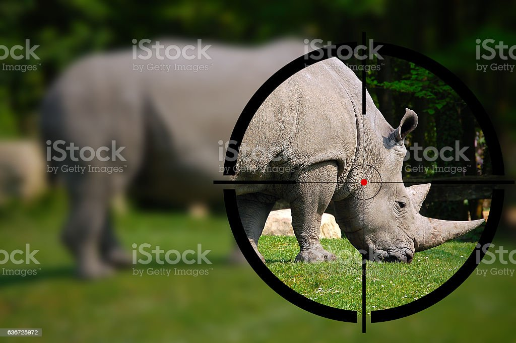 White Rhino in the Rifle Sight stock photo