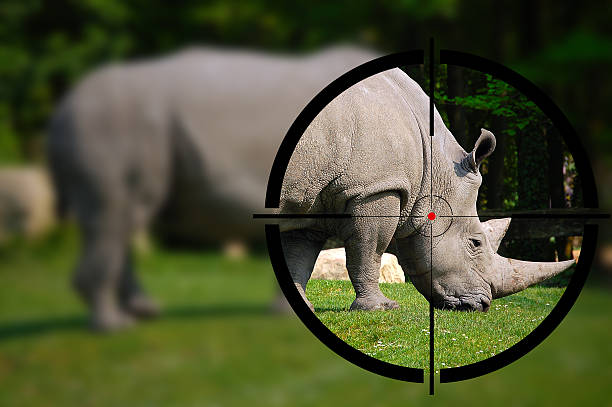 White Rhino in the Rifle Sight Big game hunting - White rhino in the rifle sight poaching animal welfare stock pictures, royalty-free photos & images
