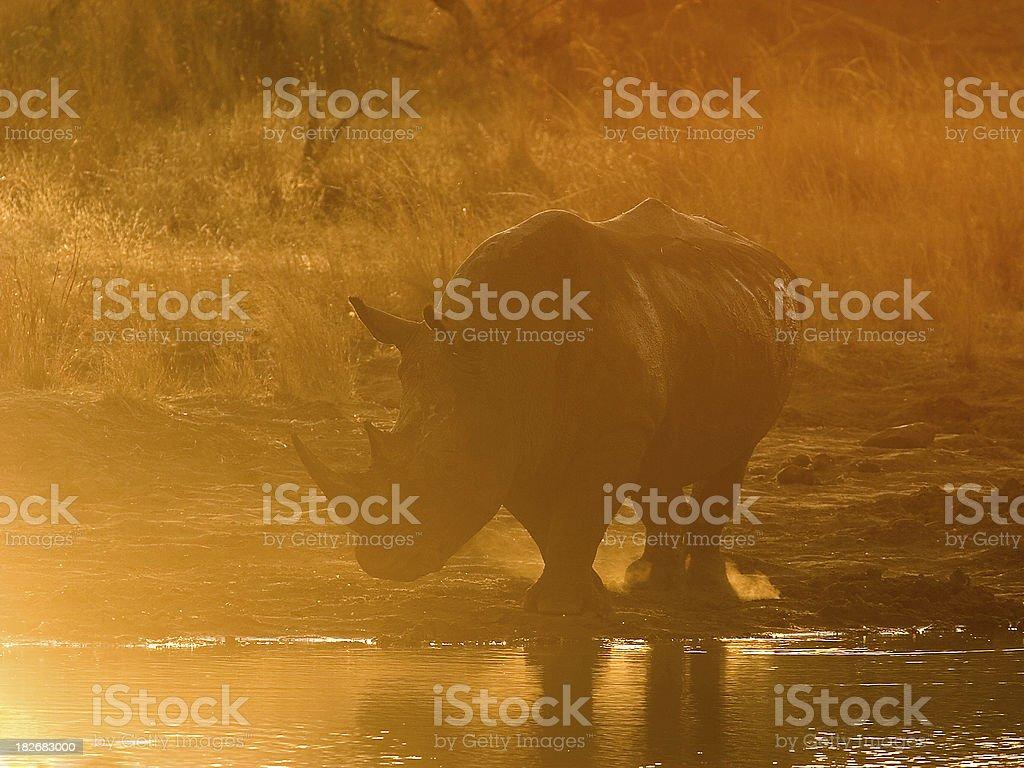 White Rhino just before Sunset stock photo