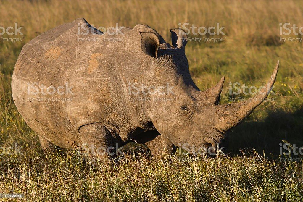 White Rhino Stock Photo - Download Image Now - iStock