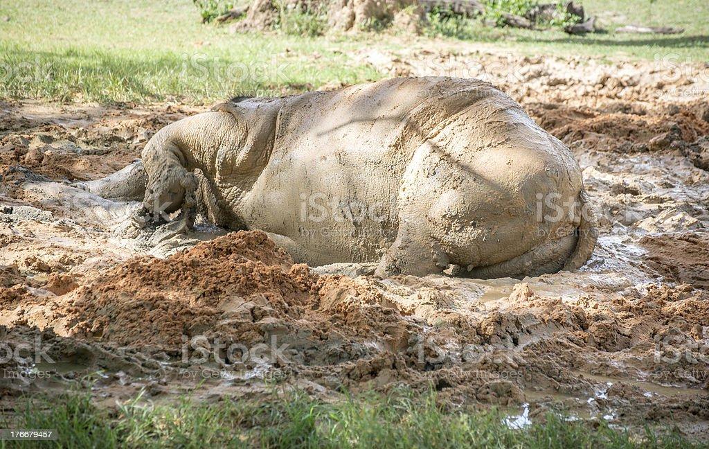 White Rhino Playing in the Mud royalty-free stock photo