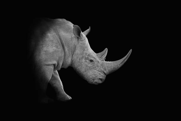 White Rhino Portrait A dark monochrome portrait of a White Rhinoceros rhinoceros stock pictures, royalty-free photos & images