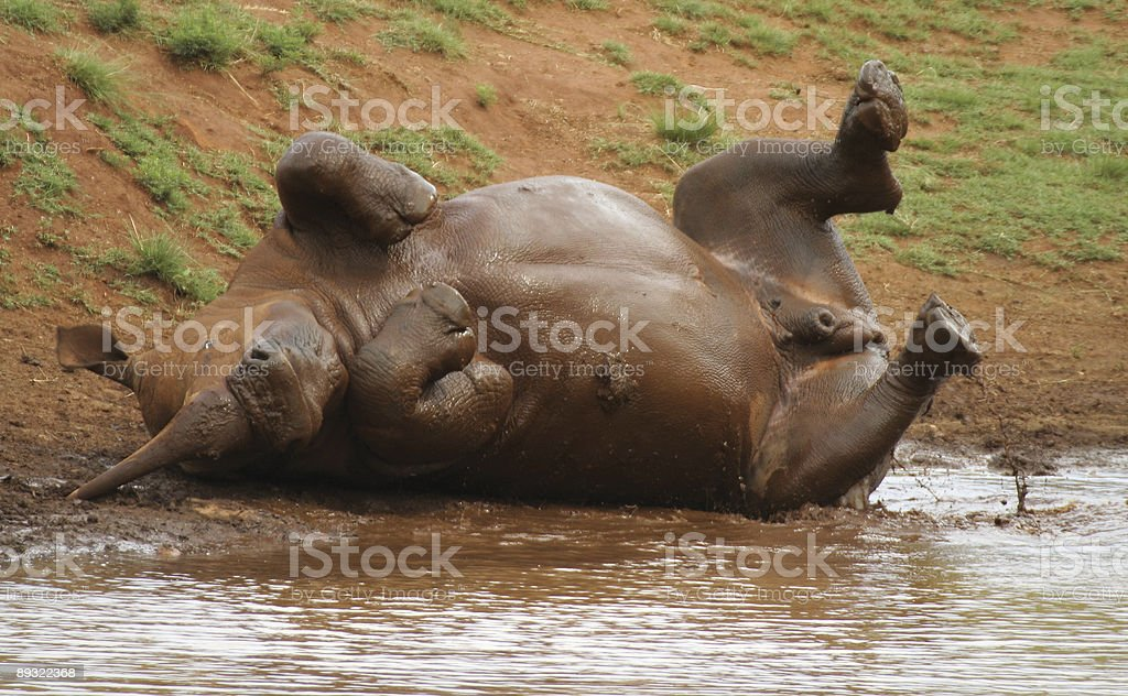 White Rhino rolling in the mud royalty-free stock photo