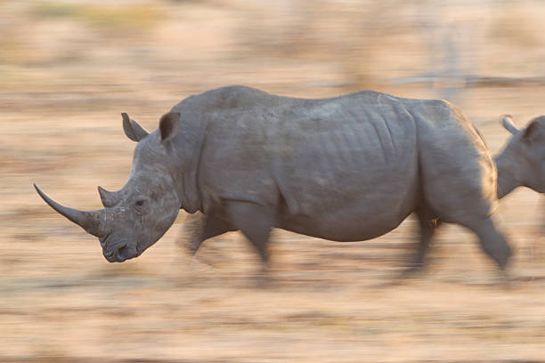 "White Rhino running, South Africa ""White Rhino (Ceratotherium simum) running, in motion, Kruger Park, South Africa"" transvaal province stock pictures, royalty-free photos & images"