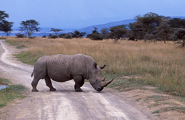 white rhino savanna lake nakuru national park kenya east africa - kenyan culture stock photos and pictures