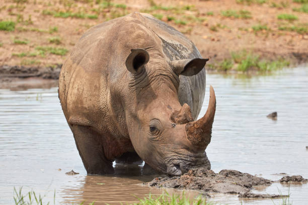 White rhino standing in the water stock photo