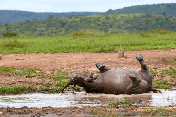 White rhino taking a mud bath stock photo
