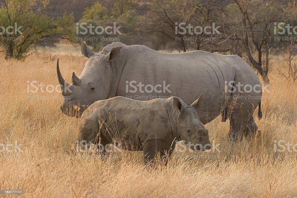 White Rhino with Calf stock photo