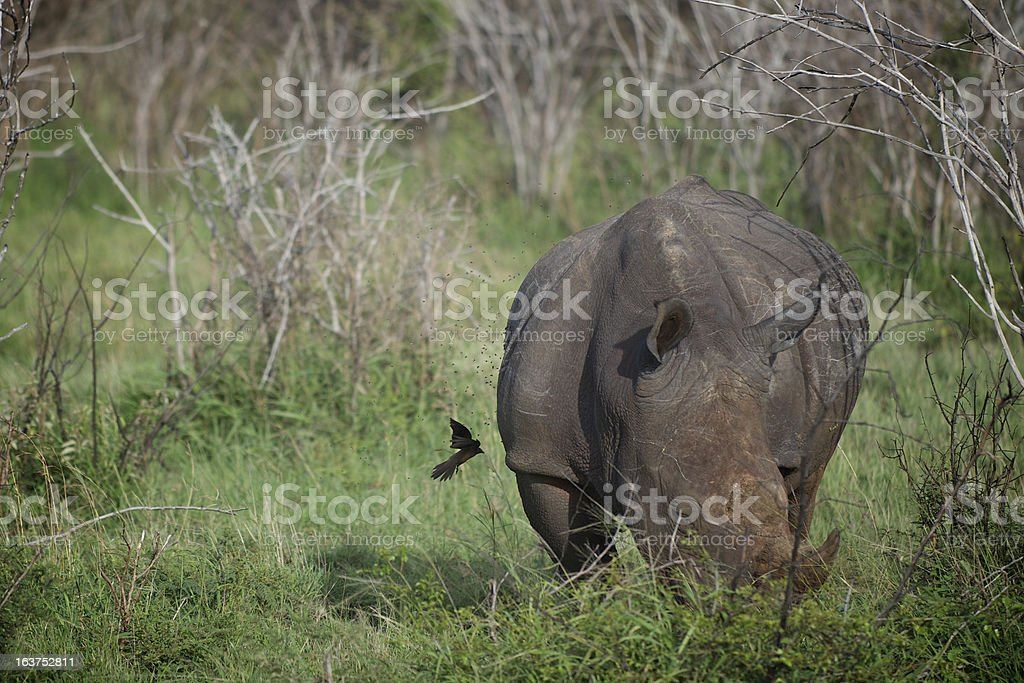 White Rhinoceros and Oxpecker royalty-free stock photo