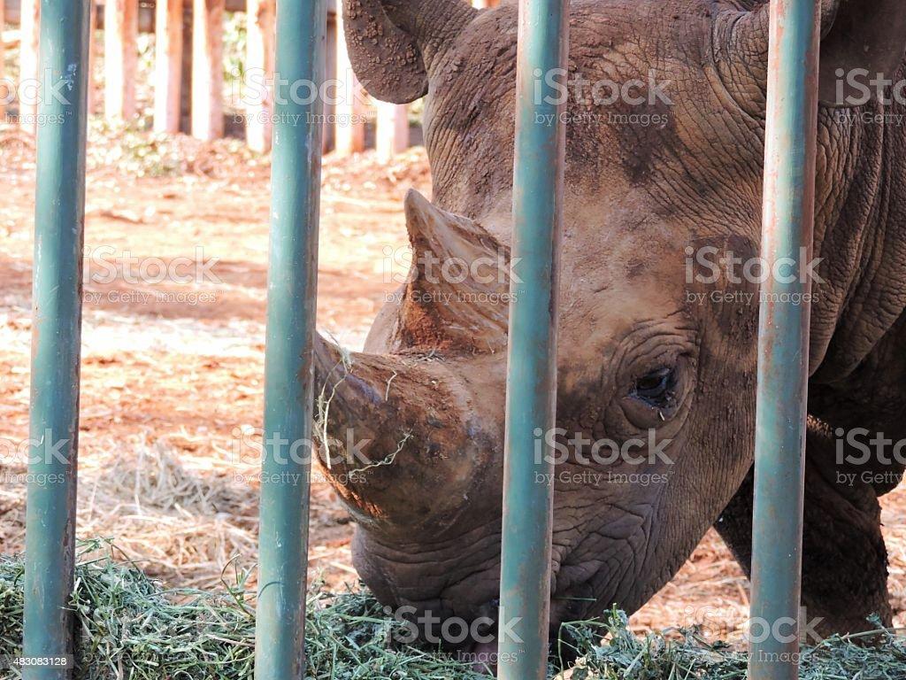 White Rhinoceros eating Alfalfa stock photo