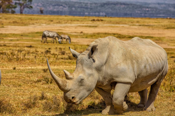 White Rhinoceros grazing at lake Nakuru National park with Zebra White Rhinoceros grazing at lake Nakuru National park with Zebra white rhinoceros stock pictures, royalty-free photos & images