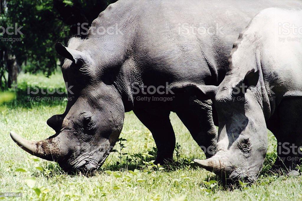White Rhinoceros Grazing royalty-free stock photo