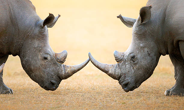 White Rhinoceros  head to head White Rhinoceros (Ceratotherium Simum) head to head and horns touching - Kruger National Park (South Africa) rhinoceros stock pictures, royalty-free photos & images