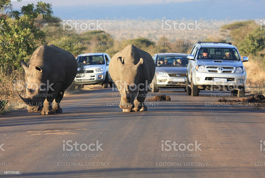 White Rhinoceros in Kruger Park, South Africa stock photo