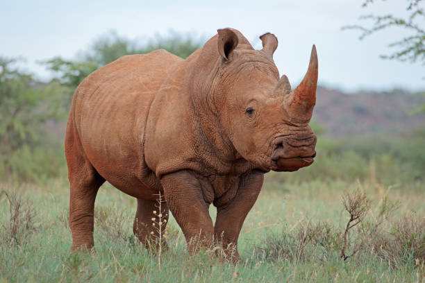 "A white rhinoceros in natural habitat A white rhinoceros (Ceratotherium simum) in natural habitat, South Africa""r rhinoceros stock pictures, royalty-free photos & images"