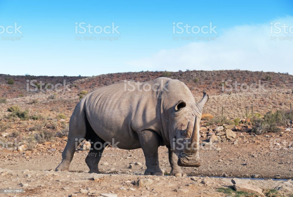 White rhinoceros in the wildlife reserve , Little  Karoo, South Africa stock photo