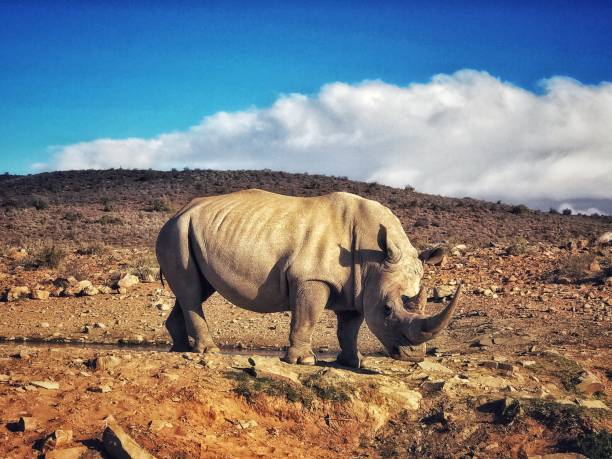 White rhinoceros in the wildlife reserve , Little  Karoo, South Africa stock photo