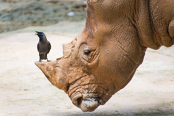 White Rhinoceros in wildlife, big & small friends. White Rhinoceros in wildlife during a safari. symbiotic relationship stock pictures, royalty-free photos & images