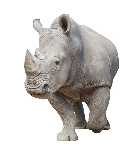 white rhinoceros isolated white rhinoceros, square-lipped rhinoceros isolated on white background white rhinoceros stock pictures, royalty-free photos & images