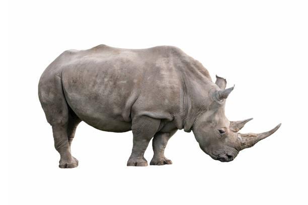 white rhinoceros isolated white rhinoceros ceratotherium simum isolated on white background white rhinoceros stock pictures, royalty-free photos & images