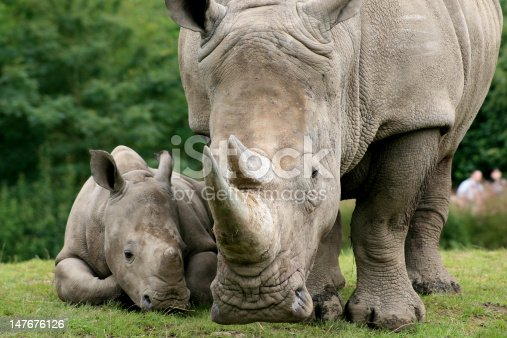 Mother and calf; focus on rhino mother
