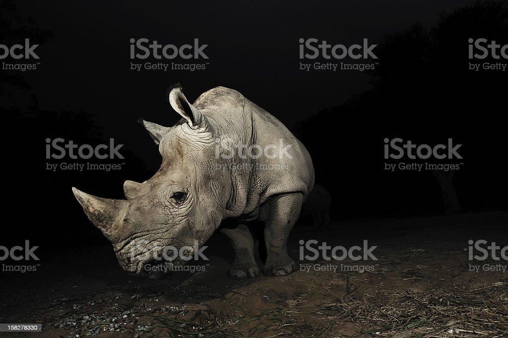 White rhinoceros - Royalty-free Africa Stock Photo