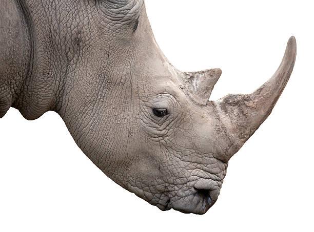 Rhinocéros blanc - Photo