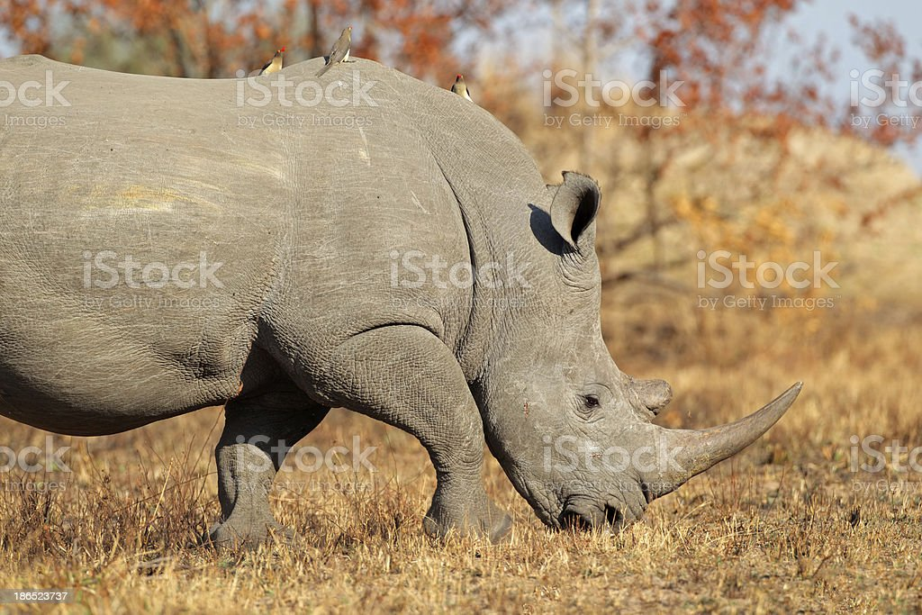 White rhinoceros royalty-free stock photo