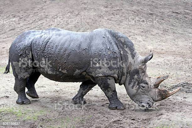 White Rhinoceros in its habitat covered in mud