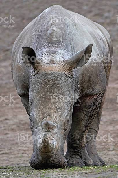 White Rhinoceros looking for food in its habitat