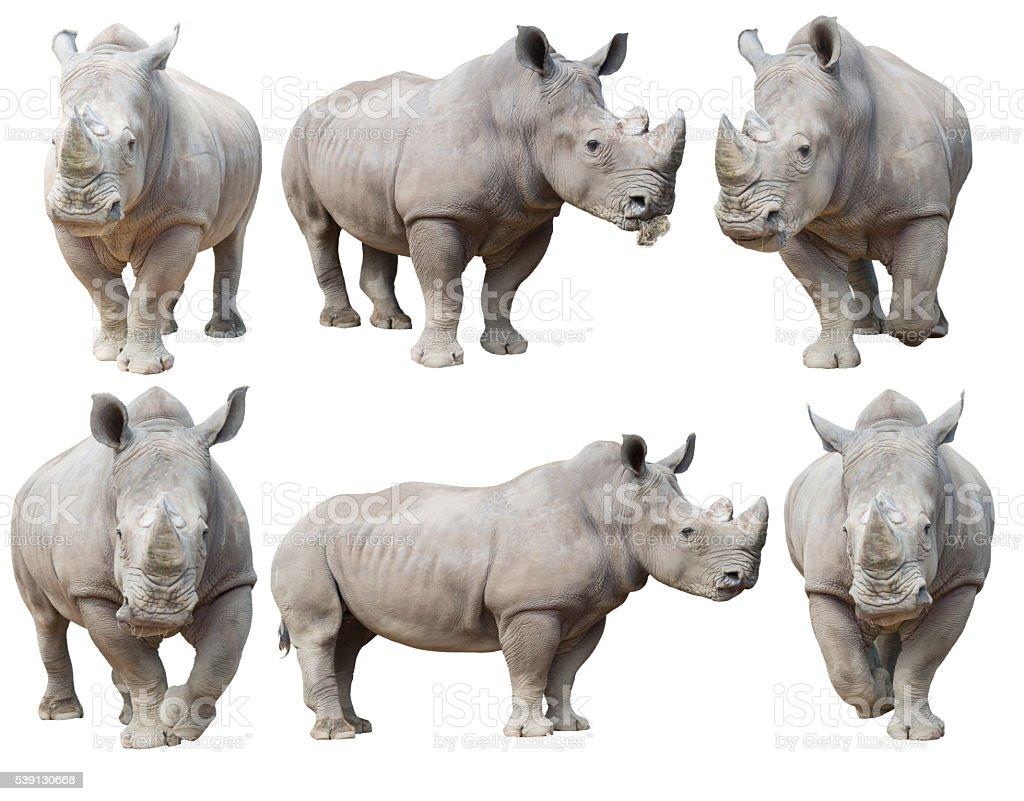 Rinoceronte blanco - foto de stock