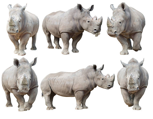 white rhinoceros white rhinoceros, square-lipped rhinoceros isolated on white background rhinoceros stock pictures, royalty-free photos & images
