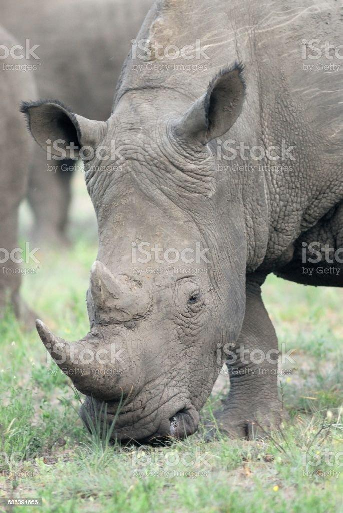 White Rhinoceros zbiór zdjęć royalty-free