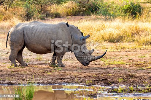 istock White rhinoceros Pilanesberg, South Africa safari wildlife 992837416