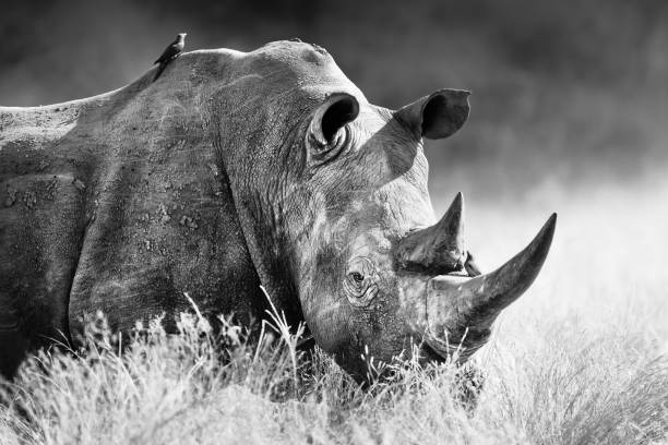 White Rhinoceros, rhino bull black and white portrait White rhinoceros, rhino bull portrait , highly focused and alerted in tall grass. Black and white. Ceratotherium simum poaching animal welfare stock pictures, royalty-free photos & images