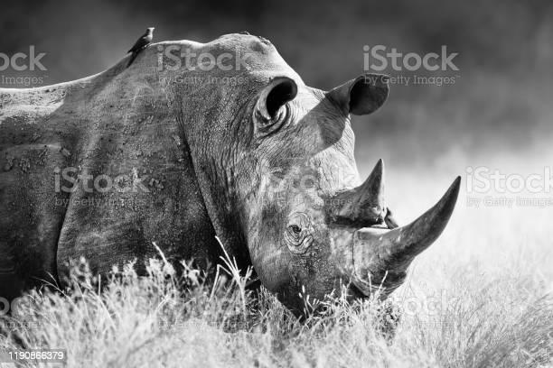 White Rhinoceros Rhino Bull Black And White Portrait Stock Photo - Download Image Now