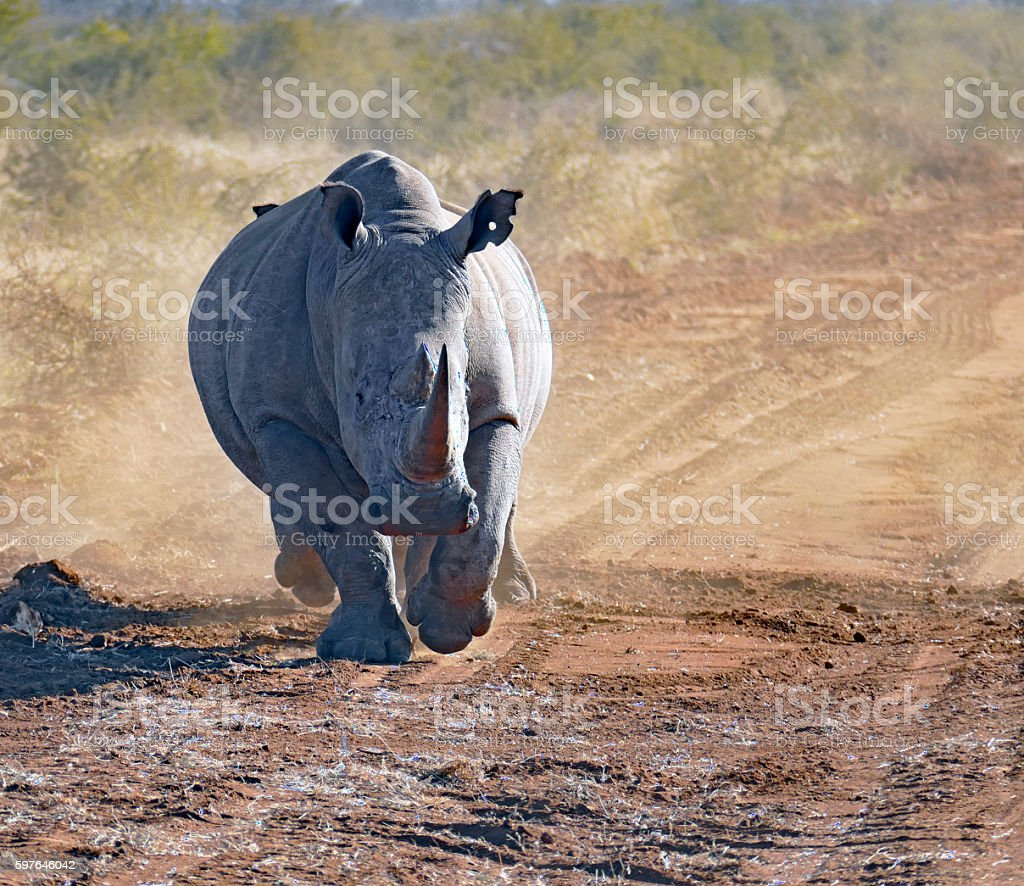 White rhinoceros running in Madikwe Game Reserve, South Africa stock photo