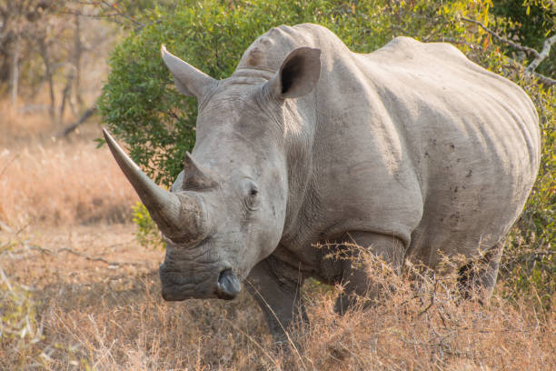White Rhinoceros standing in grass facing the camera stock photo