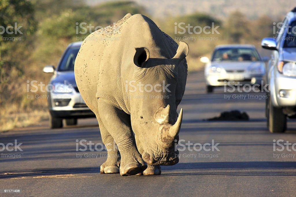 White rhinoceros walking on the road stock photo