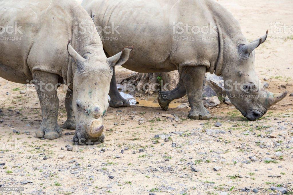 총구에 부상으로 흰 코뿔소 - 로열티 프리 검정 스톡 사진